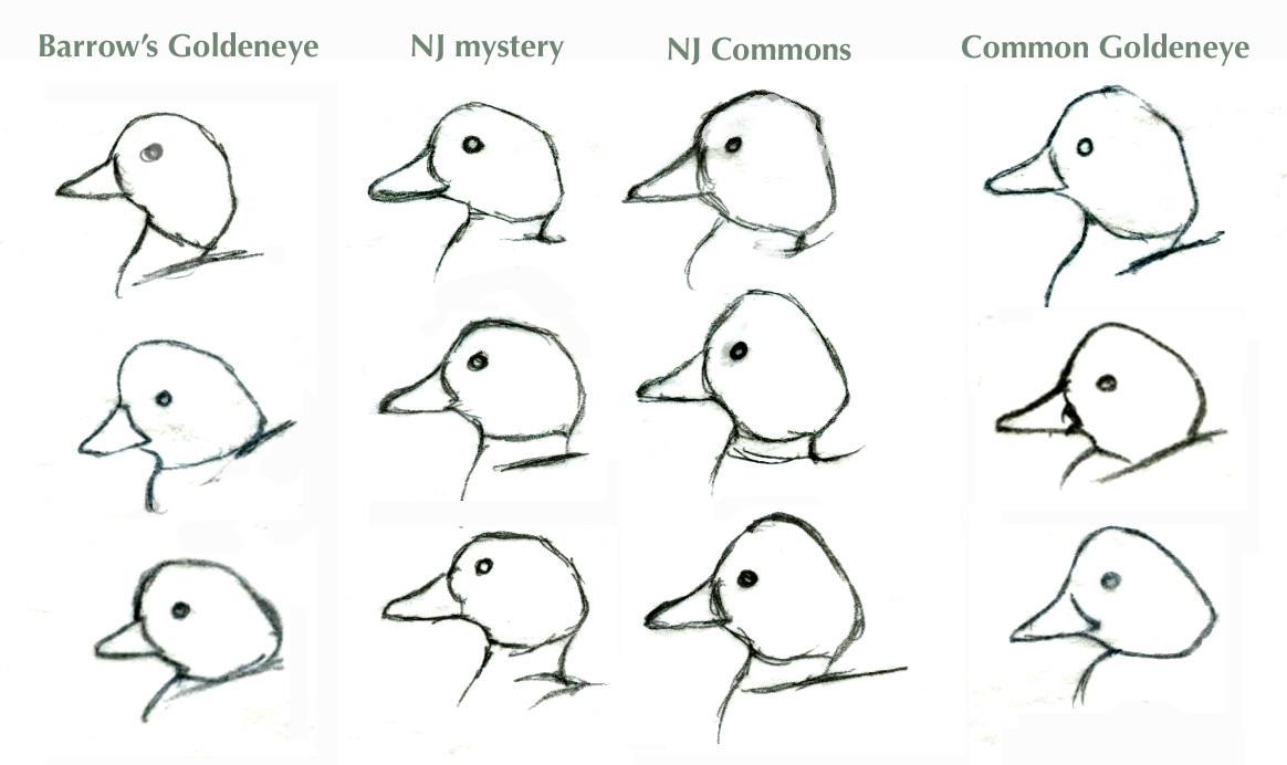 Bird In Everything: Birds Of The Northeast Identification