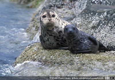 Klasifikasi Anjing Laut ( Phoca vitulina )