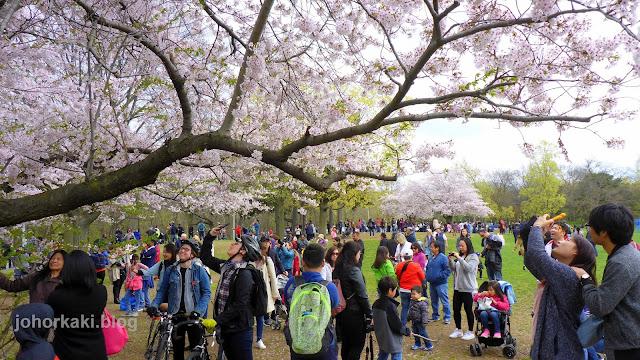 Cherry-Blossoms-High-Park-Toronto-Spring-2017