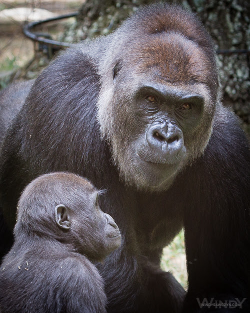 Gorilla Moms and Discipline