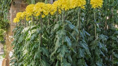 Crisantemos con una sola flor gigante en Longwood Gardens