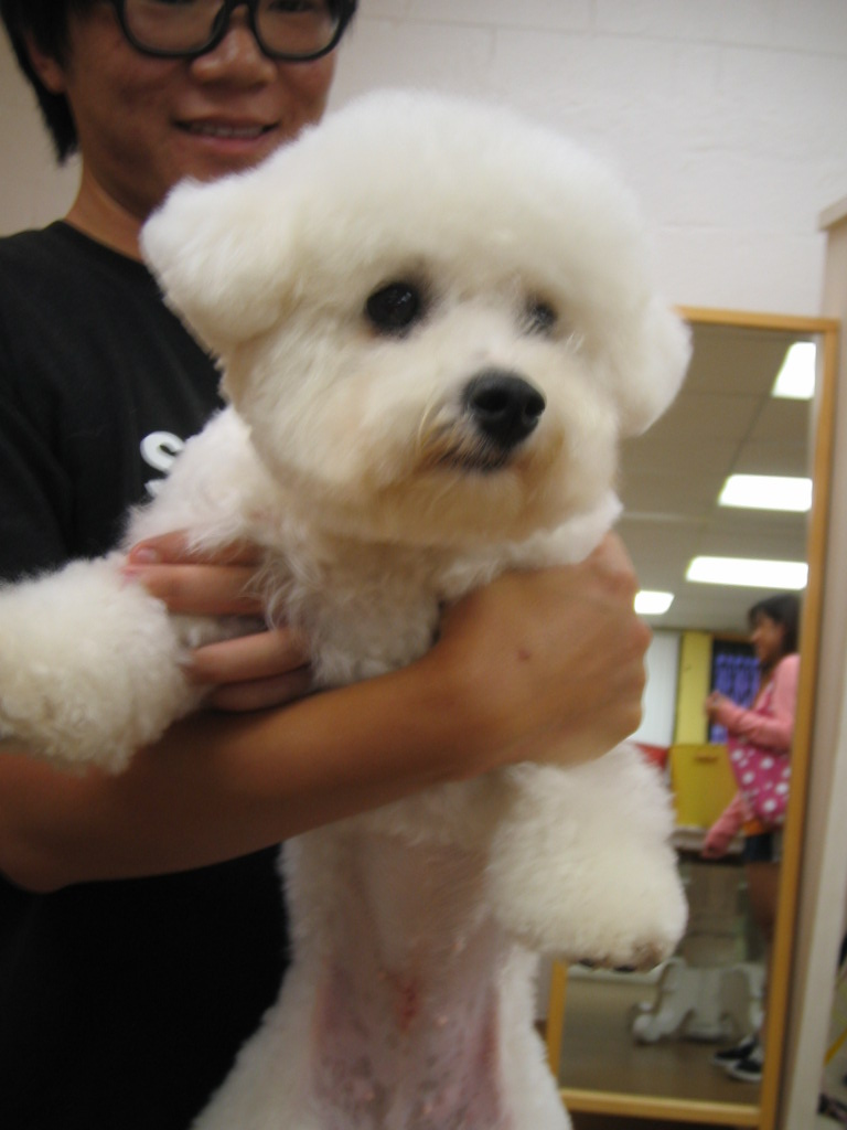 venicepets: today's customer: brad - bichon frise