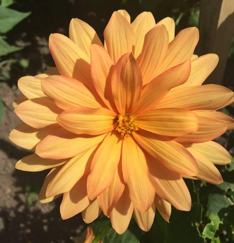 flor de dalia color naranja