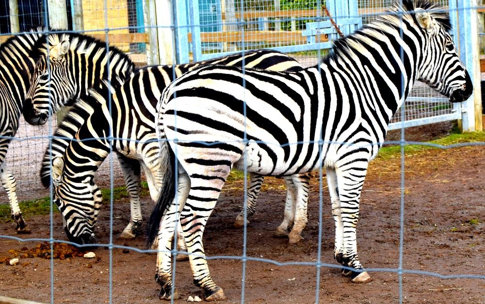 Zebra: Wordless Wednesday Blog Hop