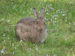 ternak kelinci hias