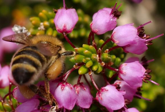 Πωλείται μέλι σουσούρας στην Λέσβο