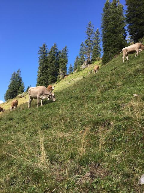 Kühe am Wanderweg