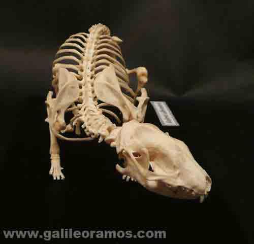 Esqueleto de un erizo de tierra de frente