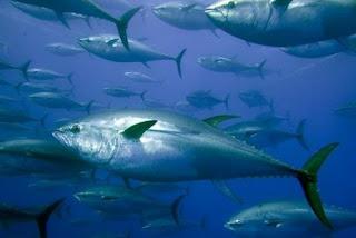 كيفية صيد سمك التونة