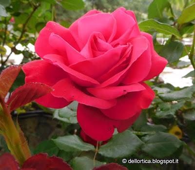 rosa del giardino visitabile dell azienda agricola dell ortica a Savigno Valsamoggia Bologna vicino Zocca nell appennino