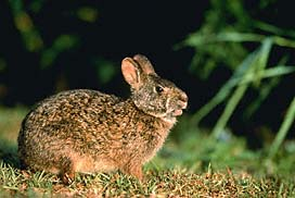 Animals Covered The Cottontail Rabbit Northern Hare And Marsh