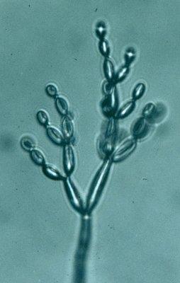 parazita penész