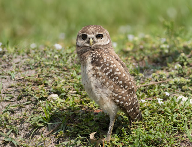Baby Burrowing Owl - Brian Piccolo Sports Park, Florida