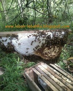 cara panen lebah madu liar lokal