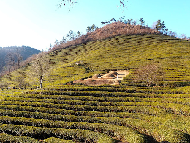 Hillside of green tea plants at Boseong Green Tea Plantation, South Korea