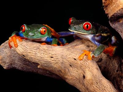 imagenes de ranas de colores
