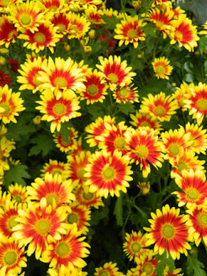 Orange and red single chrysanthemums at 2016 Allan Gardens Conservatory  Fall Chrysanthemum Show by garden muses-not another Toronto gardening blog