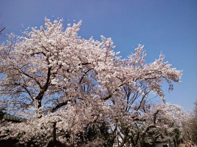 Sakura-Blossom Hanegi-Park,Seatagaya,Tokyo