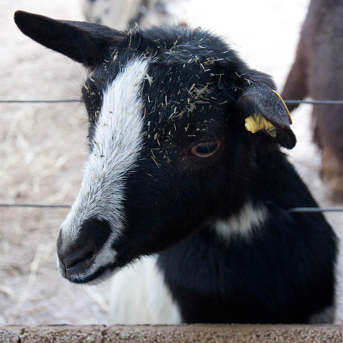 Curious goat, Parco Faunistico Cappeller, Nove, Veneto, Italy