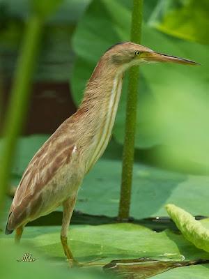 Avetorillo chino: Ixobrychus sinensis