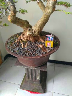 bibit-bonsai-cendrawasih.jpg