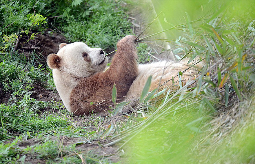 The World's Only Brown Panda Who Was Abandoned As A Baby, Finally Finds Happiness - The celebrity panda now weighs more than 220 pounds and eats around 44 pounds of bamboo every day
