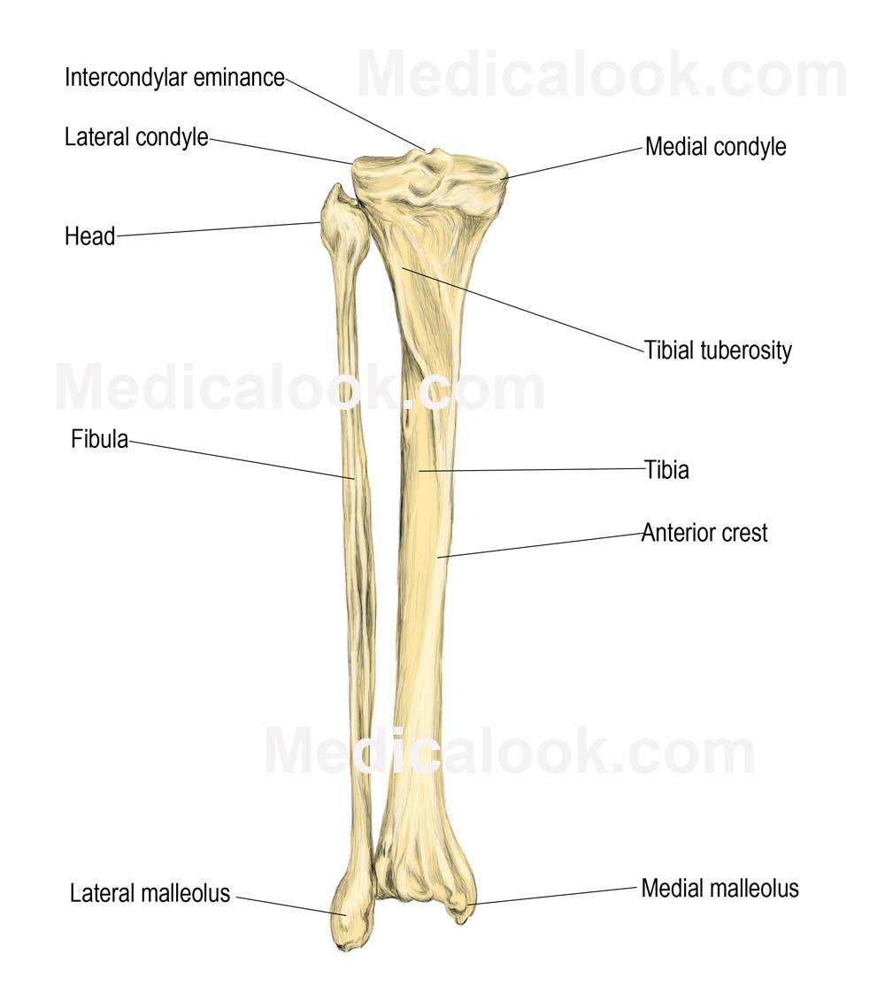medium resolution of legs bones diagram wiring diagram expert lower extremity bone diagram