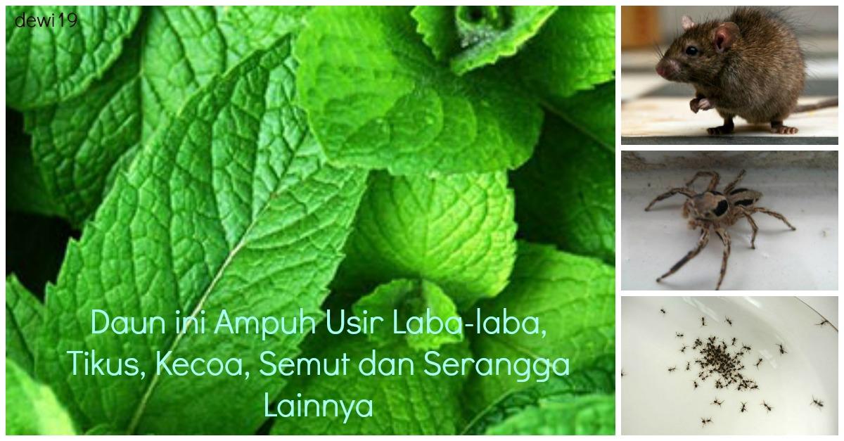 Khasiat daun dan minyak peppermint bagi Kesehatan