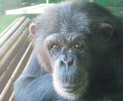 chimpancé mira de frente