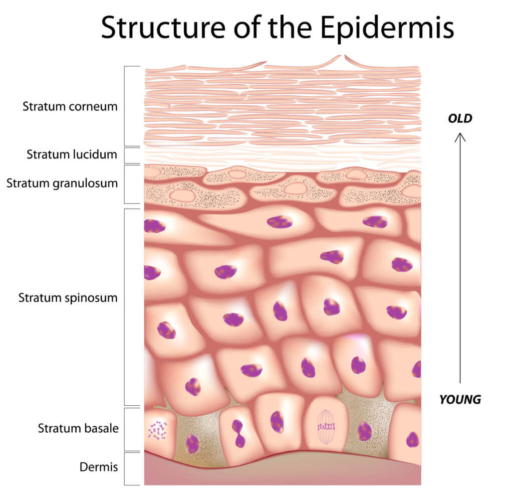 The structure of the epidermis