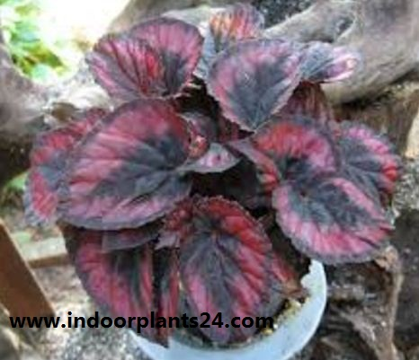 Painted-leaf begonia indoor house plant picture