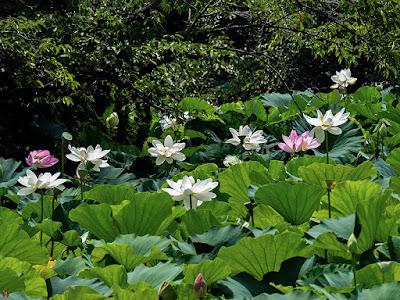 Sacred lotus flowers: Tsurugaoka-hachimangu
