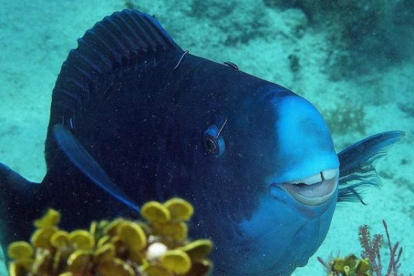 Apesar de ser alvo de vários pescadores, o peixe-papagaio-azul ainda é facilmente encontrado em algumas áreas são de conservação. Por estas razões, a União Internacional para a Conservação da Natureza colocou o peixe na categoria de espécie pouco preocupante.