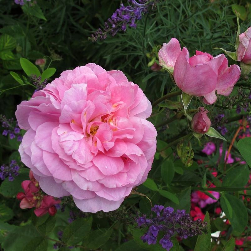Rosa 'The Mayflower' • Foto © David Austin Roses