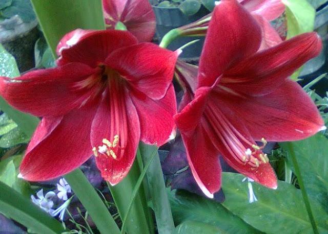 Ada 5 Manfaat Bunga Amarilis Untuk Kesehatan Kita