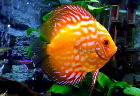 8 Makanan Ikan Discus Alami Dan Buatan Yang Bisa Membuat Ikan