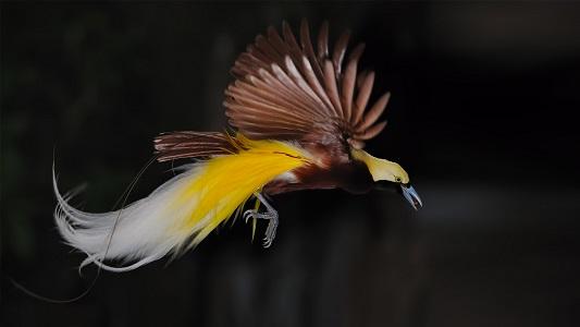 Cennet Kuşu Hakkında Bilgi