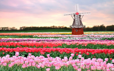 holland-tulips-flowers