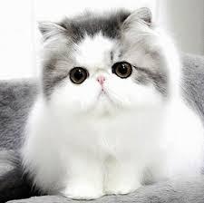 Download 92+  Gambar Kucing Persia Lucu Dan Imut Lucu HD