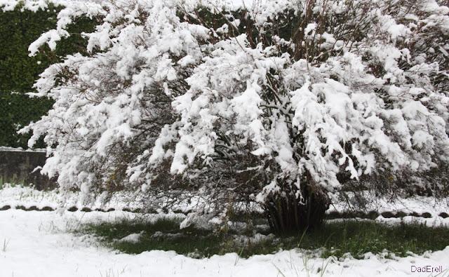 Seringa sous la neige