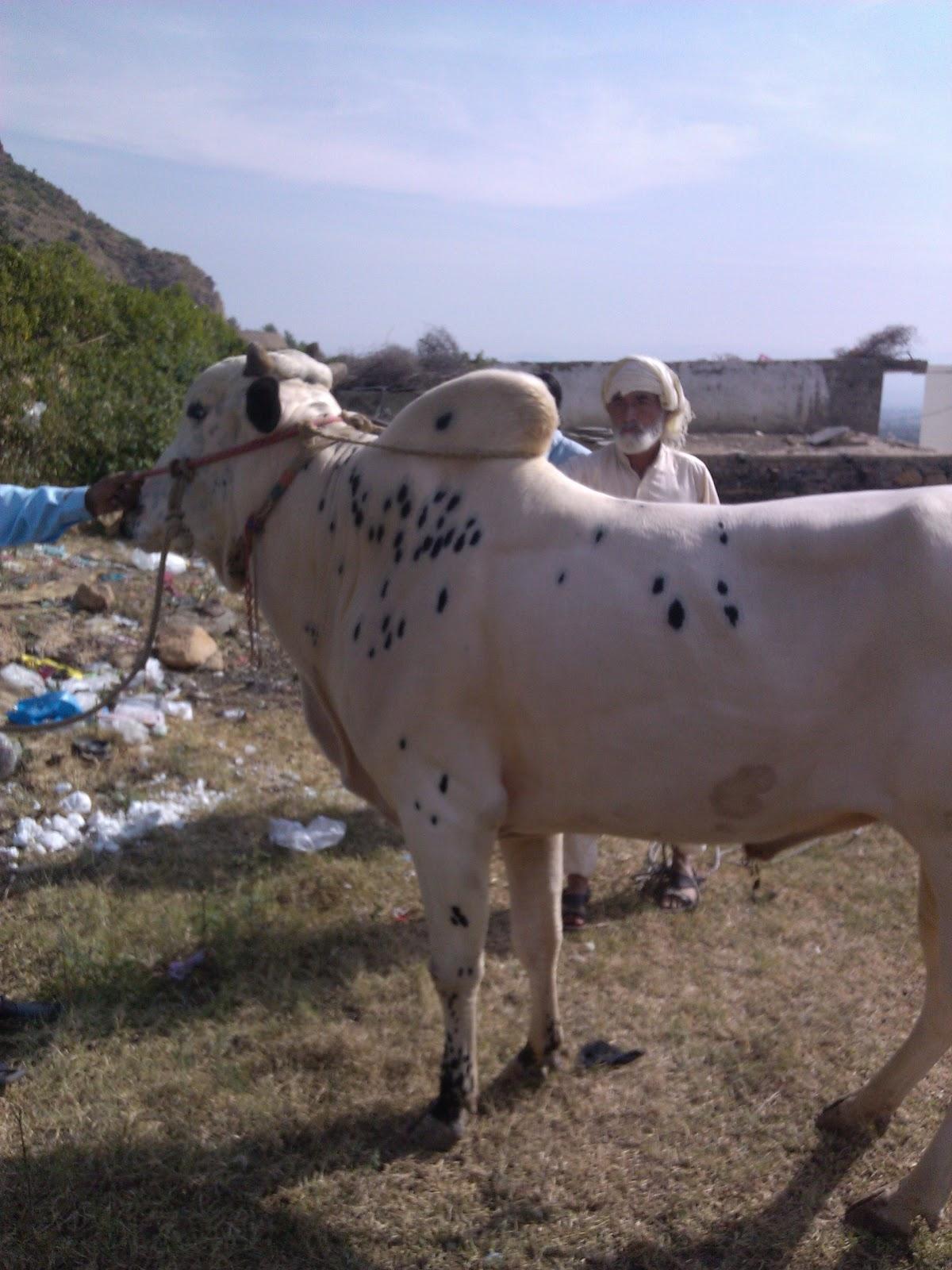 Best Qurbani Bull Qurbani Bull Pictures 2012