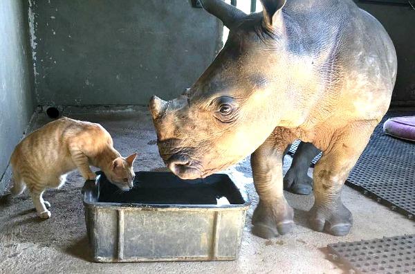 baby rhino drinking