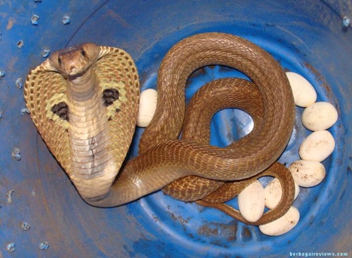Ular Ciri Ciri Habitat Reproduksi Makanan Jenis Jenis