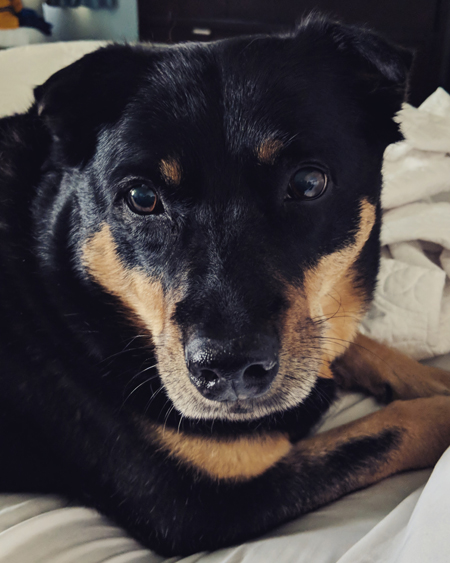 image of Zelda the Black and Tan Mutt's face in close-up, as she lies in bed beside me, looking at me