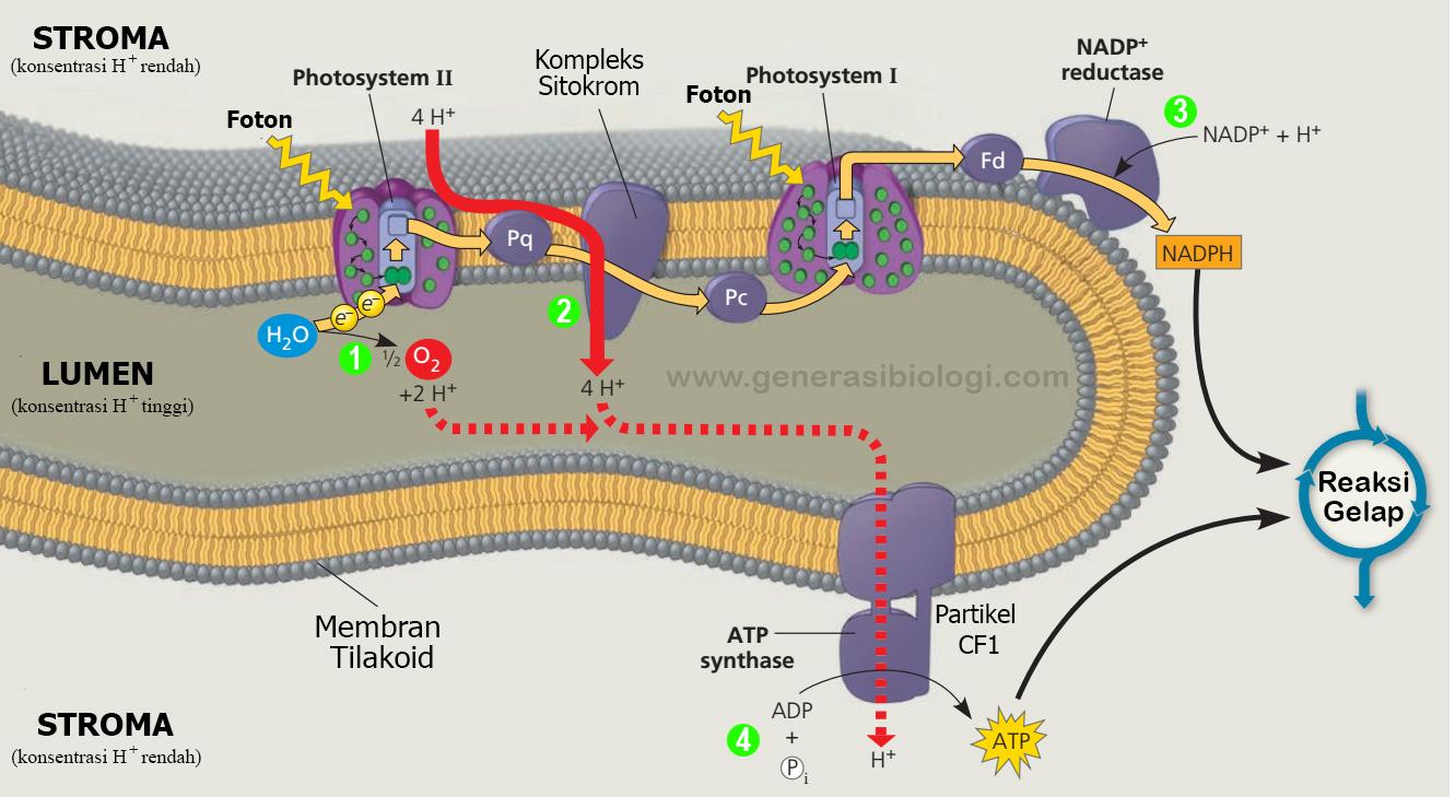 Proses Fotosintesis Dan Cara Mudah Menghafalkannya