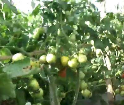 tomat unggul di indonesia