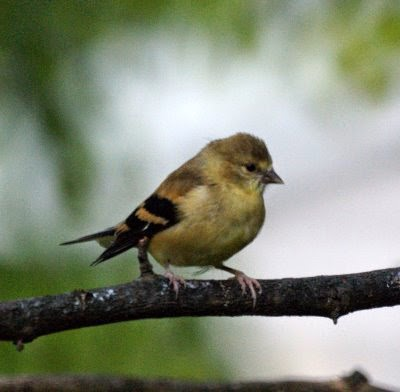 Wild Birds Unlimited: How to identify baby goldfinches