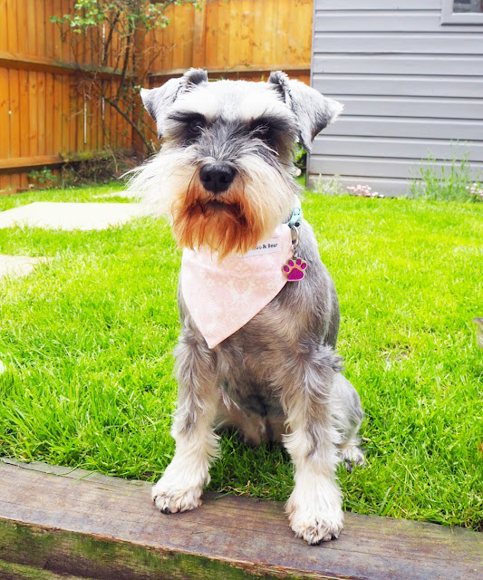 miniature schnauzer, dog clothes, cute dog, schnauzer