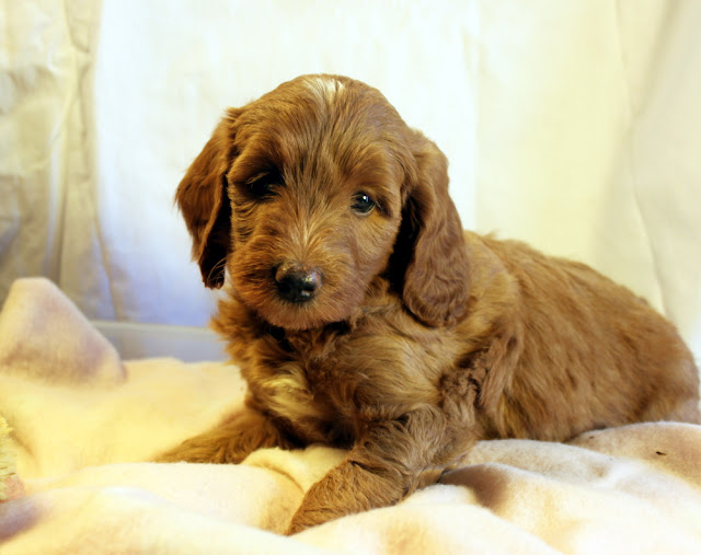 The Best in Offered by Winsome Cottage Labradoodles Utah!