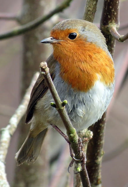 picture of robin in tree. What do Robins like to eat. Best food for Robins